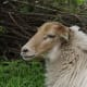 Hornless Denthe Heath Sheep ewe