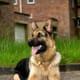 five-best-large-german-dog-breeds