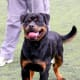 Rottweilers are alert protection dogs.