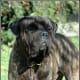 The Bullmastiff, a natural family guard.