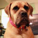 The Boerboel is a family guard dog.