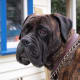 A Bullmastiff does not bark much but he will guard.