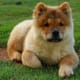 A Chow Chow puppy.