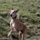 The Azawakh, an African dog breed.