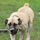 The Boerboel is a muscular guard dog.