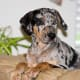 Catahoula Curs can become good house dogs.