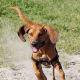 Redbone Coonhound puppy in a hurry.