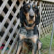 Bluetick Coonhounds have been mentioned in a lof of Country Music.