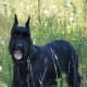 Giant Schnauzers are great for personal protection.