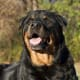 Rottweilers were shepherds, but now they are mostly used for protection.