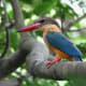 Stork-billed Kingfisher - Pelargopsis capensis