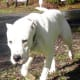 A Dogo Argentino looking like a guard.