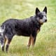 """An Australian Cattle Dog showing a """"blue"""" coat.  This dog might be called a """"Blue Heeler""""."""