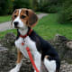 Beagles that are kept in good shape are one of the healthiest dog breeds.