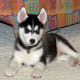 Some urban Siberian Huskies have health problems,but very few.