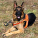 German Shepherd Dogs often have jobs that require them to be faithful AND loyal.