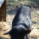 We adopted a four-year old boar the shape of a lean dog, with a lovely personality but serious malnutrition.