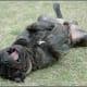 A bullmastiff.