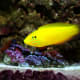 Wrasse also come in bright yellow, among many other colors.