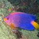 This gorgeous angelfish ranges from pink to orange to blue, with just a touch of yellow.