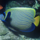A striped angelfish in blue and yellow.