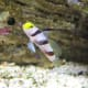 Gobies come in all shapes, patterns, and colors.