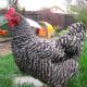 A Barred Rock hen as part of a backyard flock