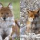 Dhole vs. fox.