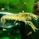 cajun-dwarf-crayfish-care