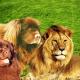 Tan Newfoundland dog and lion.