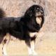 Indigenous mastiff.