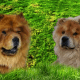 Chinese Chow Chow dogs.