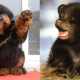 seven-dogs-that-look-like-bear