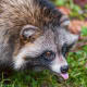 Despite closely resembling North American raccoons, raccoon dogs are thought to have evolved independently.