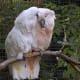 Cockatoos are very affectionate pet birds.