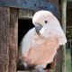 Since cockatoos can live 40–80 years, they're a great option for people looking for a lifelong friend that loves constant attention.