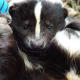 Though they are often thought of as stinky and undesirable animals, skunks can become wonderful pets if properly domesticated.