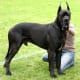 Great Danes are not typically aggressive despite their large stature.
