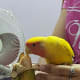 My lovebird, Mumu, loves to eat banana.