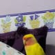 My lovebird, Mumu, sleeping on my thigh.
