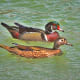There's nothing nicer than seeing a pair of wood ducks swimming slowly down a pond together.