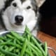 Max in training for a commercial (maybe) about malamutes and green beans.