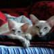 Javanese kittens