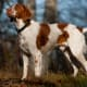 The Brittany is a hunting dog that is also cuddly. This breed makes for a great companion on walks.
