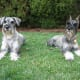 Standard Schnauzers are farm dogs and calm when out for a walk.