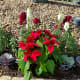 If a cat nibbles on a poinsettia plant, it can make your cat sick. Enjoy these flowers outside if you can or in a hanging basket inside the house where a cat can't reach it.