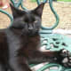 A polydactyl cats at the Ernest Hemingway House in Key West, Florida. This cat has 7 (2 extra) toes on each paw.