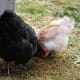 Start with a Silkie and then add other larger hens. We have many varieties of chickens on our small farm.