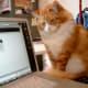 Geek cat monitors his human's internet use.