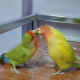 my-lovebird-lost-his-mate